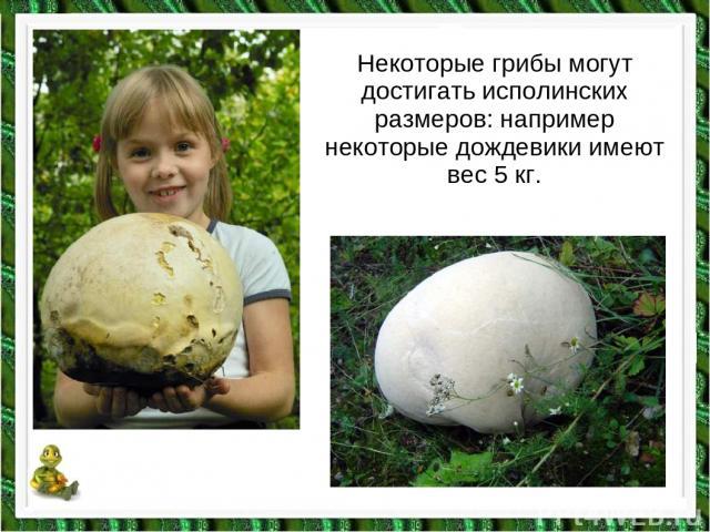 Некоторые грибы могут достигать исполинских размеров: например некоторые дождевики имеют вес 5 кг.
