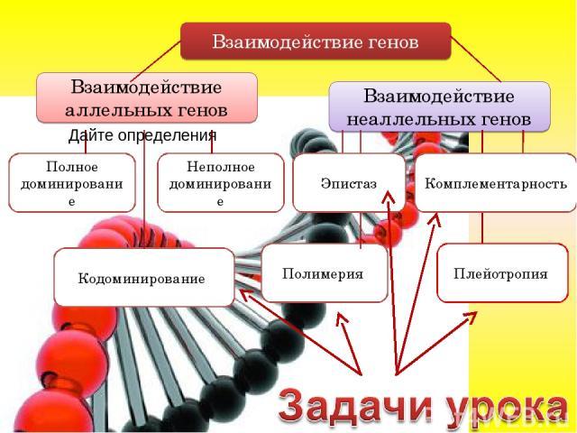 Взаимодействие генов Взаимодействие аллельных генов Взаимодействие неаллельных генов Полное доминирование Неполное доминирование Полимерия Комплементарность Кодоминирование Плейотропия Эпистаз Дайте определения