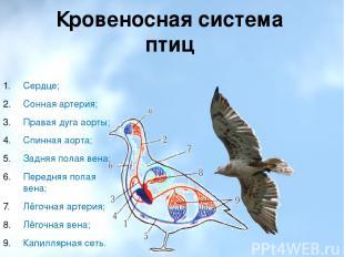 Кровеносная система птиц Сердце; Сонная артерия; Правая дуга аорты; Спинная аорт