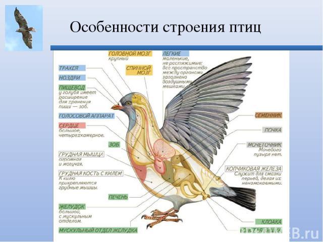 Особенности строения птиц