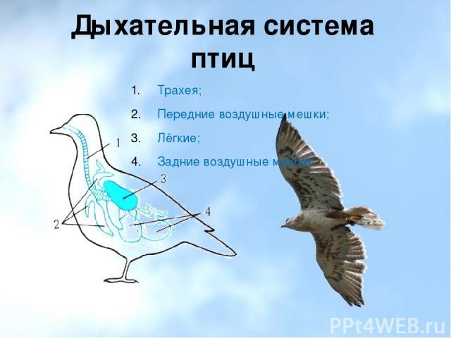 Дыхательная система птиц Трахея; Передние воздушные мешки; Лёгкие; Задние воздушные мешки.
