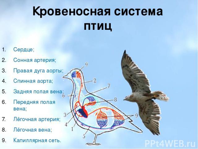 Кровеносная система птиц Сердце; Сонная артерия; Правая дуга аорты; Спинная аорта; Задняя полая вена; Передняя полая вена; Лёгочная артерия; Лёгочная вена; Капиллярная сеть.