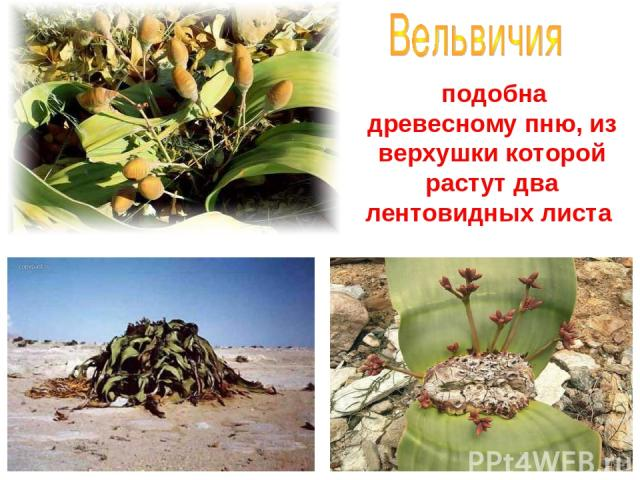 подобна древесному пню, из верхушки которой растут два лентовидных листа