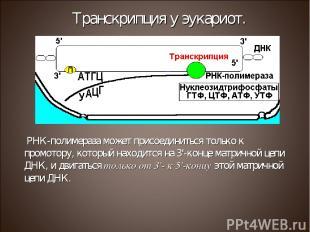 РНК-полимераза может присоединиться только к промотору, который находится на 3'-