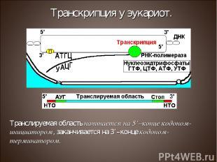 Транслируемая область начинается на 5'–конце кодоном-инициатором, заканчивается