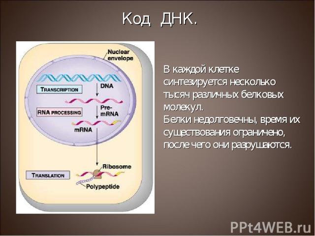 В каждой клетке синтезируется несколько тысяч различных белковых молекул. Белки недолговечны, время их существования ограничено, после чего они разрушаются. Код ДНК.