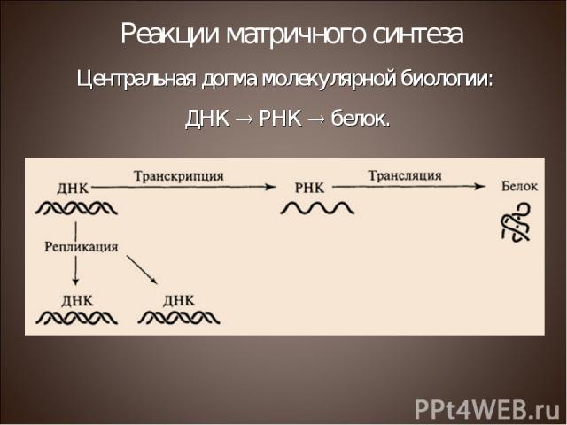 Центральная догма молекулярной биологии: ДНК РНК белок. Реакции матричного синтеза