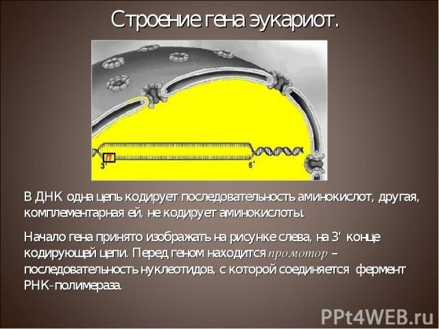 Строение гена эукариот. В ДНК одна цепь кодирует последовательность аминокислот, другая, комплементарная ей, не кодирует аминокислоты. Начало гена принято изображать на рисунке слева, на 3' конце кодирующей цепи. Перед геном находится промотор – пос…