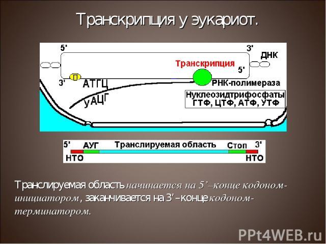 Транслируемая область начинается на 5'–конце кодоном-инициатором, заканчивается на 3'–конце кодоном-терминатором. Транскрипция у эукариот.