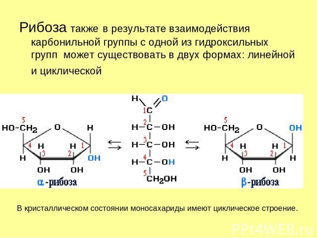 Рибоза также в результате взаимодействия карбонильной группы с одной из гидроксильных групп может существовать в двух формах: линейной и циклической …
