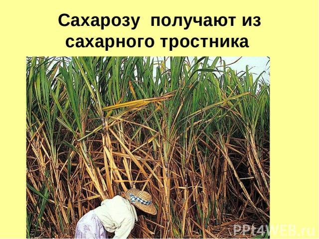 Сахарозу получают из сахарного тростника