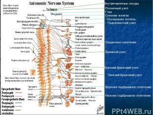 Брюшной узел Верхний брижовий узел Нижний брижовий узел Внутричерепные сосуды Ре