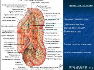 Нервы толстой кишки Брюшные узлы (сплетение) аорто Аорто-почечние узли Верхний б