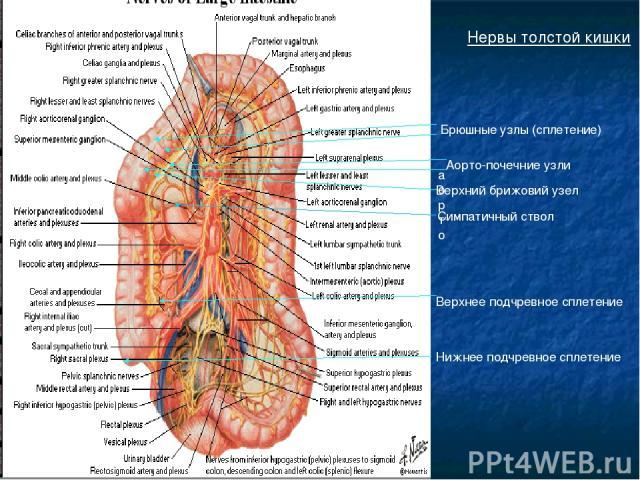 Нервы толстой кишки Брюшные узлы (сплетение) аорто Аорто-почечние узли Верхний брижовий узел Симпатичный ствол Верхнее подчревное сплетение Нижнее подчревное сплетение
