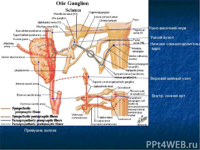 Ушной вузол Нижнее слюноотделительное ядро Верхний шейный узел Внутр. сонная арт. Ушно-височний нерв Привушна залоза