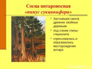 Сосна янтароносная «пинус сукцинифера» Застывшая смола древних хвойных деревьев