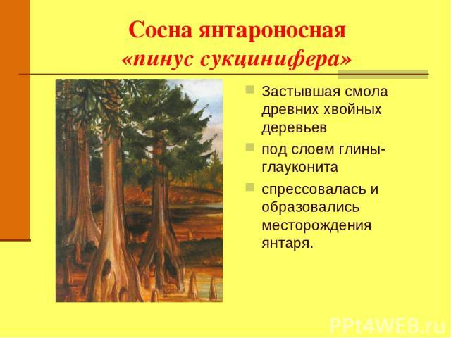 Сосна янтароносная «пинус сукцинифера» Застывшая смола древних хвойных деревьев под слоем глины-глауконита спрессовалась и образовались месторождения янтаря.