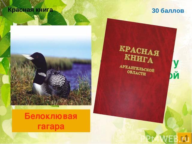 30 баллов Птица, занесённая в красную книгу Архангельской области Белоклювая гагара Красная книга