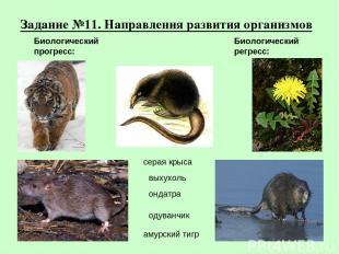 Задание №11. Направления развития организмов амурский тигр серая крыса выхухоль