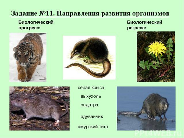 Задание №11. Направления развития организмов амурский тигр серая крыса выхухоль ондатра одуванчик Биологический прогресс: Биологический регресс: