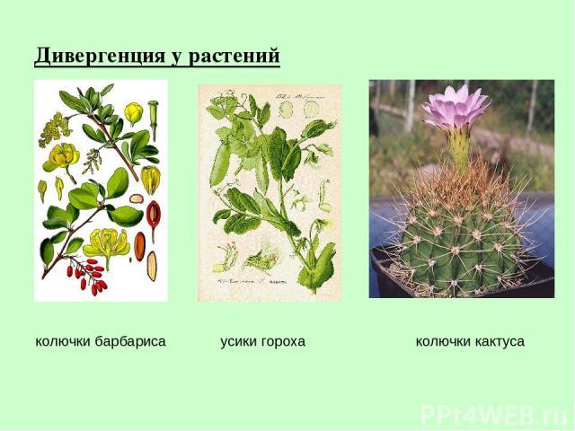 Дивергенция у растений колючки кактуса усики гороха колючки барбариса