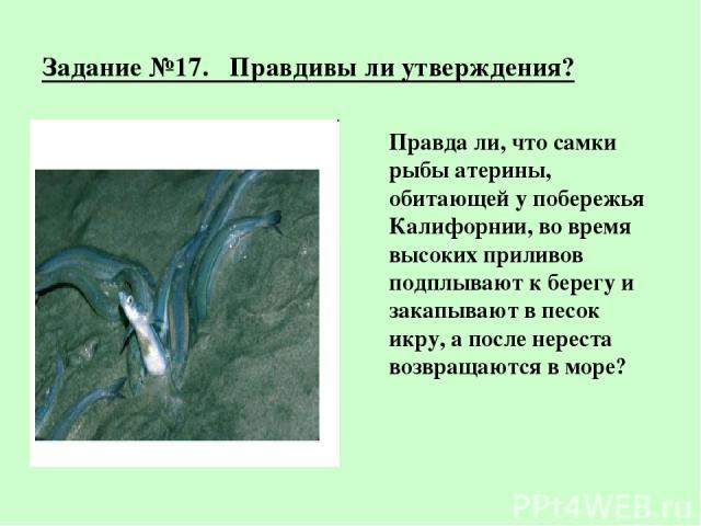 Задание №17. Правдивы ли утверждения? Правда ли, что самки рыбы атерины, обитающей у побережья Калифорнии, во время высоких приливов подплывают к берегу и закапывают в песок икру, а после нереста возвращаются в море?