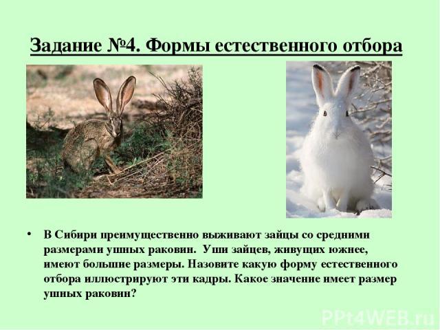 Задание №4. Формы естественного отбора В Сибири преимущественно выживают зайцы со средними размерами ушных раковин. Уши зайцев, живущих южнее, имеют большие размеры. Назовите какую форму естественного отбора иллюстрируют эти кадры. Какое значение им…