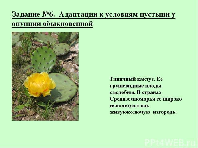 Задание №6. Адаптации к условиям пустыни у опунции обыкновенной Типичный кактус. Ее грушевидные плоды съедобны. В странах Средиземноморья ее широко используют как живуюколючую изгородь.