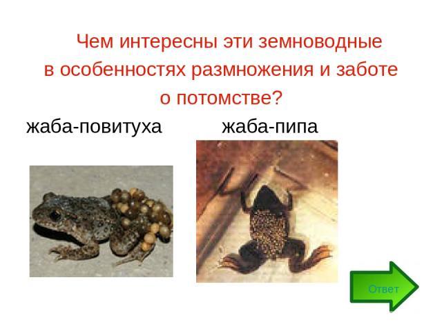 Чем интересны эти земноводные в особенностях размножения и заботе о потомстве? жаба-повитуха жаба-пипа Ответ
