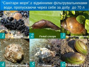 2 3 4 5 6 Є проміжним хазяїном печінкового сисуна Двостулковий молюск, занесений