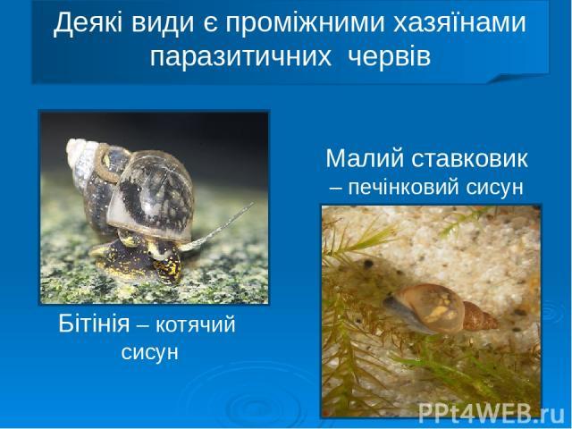 Деякі види є проміжними хазяїнами паразитичних червів Бітінія – котячий сисун Малий ставковик – печінковий сисун