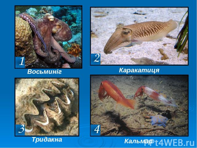 Восьминіг Каракатиця Тридакна Кальмар 2 1 3 4