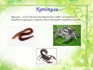 Кутикула Кутикула – щільна оболонка якою вкрите тіло червів, членистоногих. У бе