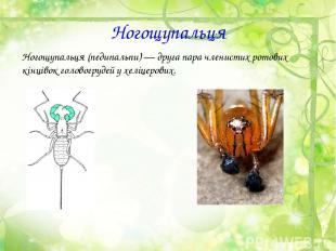 Ногощупальця Ногощупальця (педипальпи)— друга пара членистих ротових кінцівокг