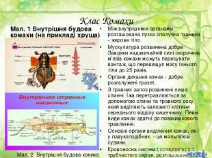 Клас Комахи Мал. 1 Внутрішня будова комахи (на прикладі хруща) Між внутрішніми о