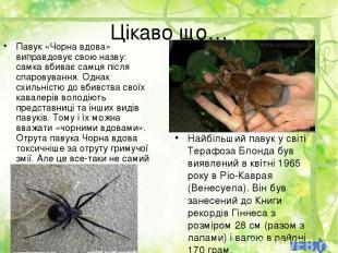 Цікаво що… Павук «Чорна вдова» виправдовує свою назву: самка вбиває самця після