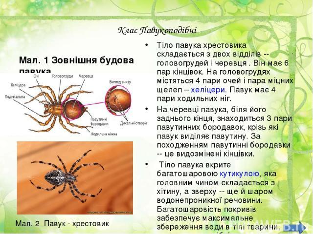 Клас Павукоподібні Мал. 1 Зовнішня будова павука Тіло павука хрестовика складається з двох відділів -- головогрудей і черевця . Він має 6 пар кінцівок. На головогрудях містяться 4 пари очей і пара міцних щелеп – хеліцери. Павук має 4 пари ходильних …