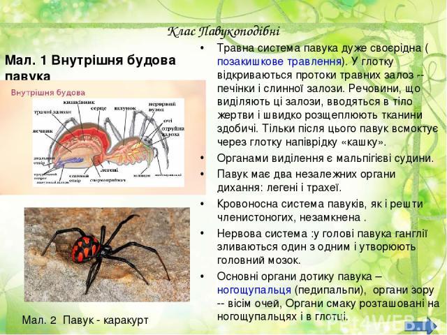 Клас Павукоподібні Мал. 1 Внутрішня будова павука Травна система павука дуже своєрідна (позакишкове травлення). У глотку відкриваються протоки травних залоз -- печінки і слинної залози. Речовини, що виділяють ці залози, вводяться в тіло жертви і шви…