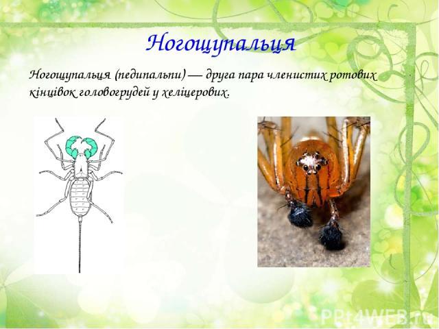 Ногощупальця Ногощупальця (педипальпи)— друга пара членистих ротових кінцівокголовогрудей у хеліцерових.