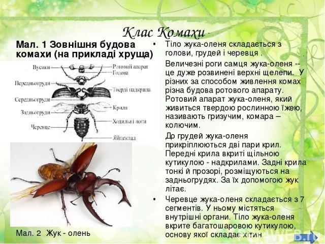 Клас Комахи Мал. 1 Зовнішня будова комахи (на прикладі хруща) Тіло жука-оленя складається з голови, грудей і черевця. Величезні роги самця жука-оленя -- це дуже розвинені верхні щелепи. У різних за способом живлення комах різна будова ротового апа…