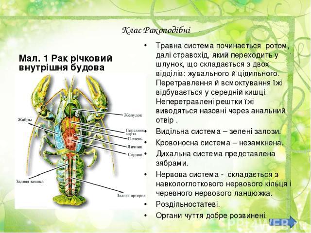 Клас Ракоподібні Мал. 1 Рак річковий внутрішня будова Травна система починається ротом, далі стравохід, який переходить у шлунок, що складається з двох відділів: жувального й цідильного. Перетравлення й всмоктування їжі відбувається у середній кишці…