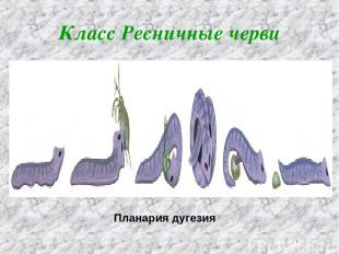 Класс Ресничные черви Планария дугезия
