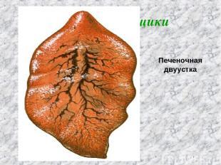 Класс Сосальщики Печеночная двуустка