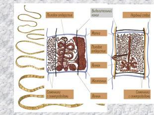 Класс Ленточные черви цепень