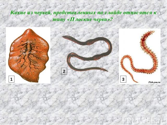 Какие из червей, представленных на слайде относятся к типу «Плоские черви»? 1 2 3