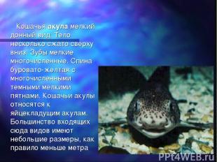 Кошачья акула мелкий донный вид. Тело несколько сжато сверху вниз. Зубы мелкие м