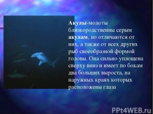 Акулы-молоты близкородственны серым акулам, но отличаются от них, а также от все
