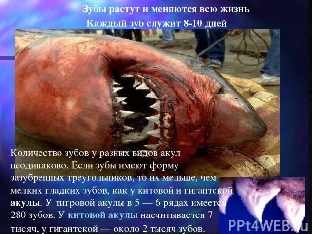 Каждый зуб служит 8-10 дней Зубы растут и меняются всю жизнь Количество зубов у разных видов акул неодинаково. Если зубы имеют форму зазубренных треугольников, то их меньше, чем мелких гладких зубов, как у китовой и гигантской акулы. У тигровой акул…