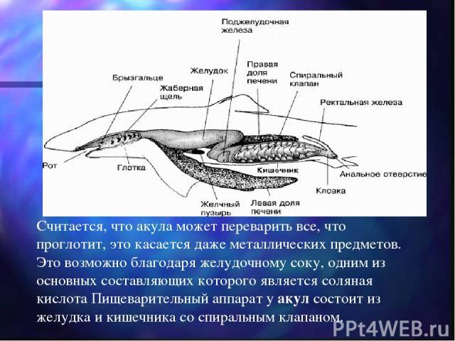 Считается, что акула может переварить все, что проглотит, это касается даже металлических предметов. Это возможно благодаря желудочному соку, одним из основных составляющих которого является соляная кислота Пищеварительный аппарат у акул состоит из …