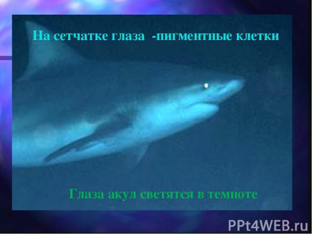 На сетчатке глаза -пигментные клетки Глаза акул светятся в темноте